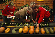 Two judges wearing identical tweed jackets are assisted by two other officials, also wearing the same red sweatshirts, are measuring oversized runner beans during the vegetable Olympics at the Bay Tree Nurseries, Spalding, Lincolnshire, England. With obssessive detail, they are discovering to the very millimetre which of theseplants might win this category for the largest runner bean of that year. In the foreground are other kingsize veg examples like marrow and courgettes though the really impressive growth comes from the pumpkins which weigh up to 308,2 kg. These runner beans measured up 39 1/2 in