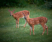 Twin Fawns with Spots. Image taken with a Fuji X-T1 camera and 100-400 mm OIS lens (ISO 200, 400 mm, f/5.6, 1/25 sec)
