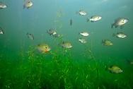 Bluegill School <br /> <br /> Engbretson Underwater Photography