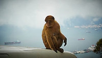 Gibraltar Monkey (Barbary macaques.) on Top of a Taxi. Image taken with a Nikon N1 V1 camera and 30-110 mm VR lens (ISO 100, 30 mm, f/4.5, 1/640 sec)