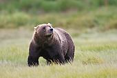 Black & Brown Bears