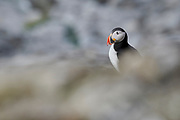 Side profile of Atlantic Puffin (Fratercula arctica), Utsikten, Svalbard