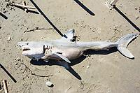 Salmon Shark at Cape Arago State Park, near Coos Bay, Oregon.