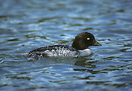 Barrow's Goldeneye - Bucephala islandica - female