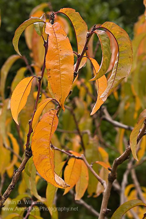 Autumn Leaves, Tasmania
