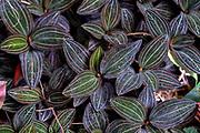 House plant closeup of the multi coloured leafs