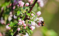 THEMENBILD - eine Hummel (Bombus) saugt Nektar aus einer Apfelbaumblüte, aufgenommen am 23. April 2018, Kaprun, Österreich // a bumblebee sucks nectar from an apple tree blossom on 2018/04/23, kaprun, Austria. EXPA Pictures © 2018, PhotoCredit: EXPA/ Stefanie Oberhauser