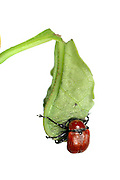 Oak Leaf Roller Beetle (Attelabus nitens) Göhrde, Germany (sequence 6/9) | Kurz vor Fertigstellung der Blattrolle beisst das Eichenblattroller-Weibchen (Attelabus nitens) ein Loch für das Ei.