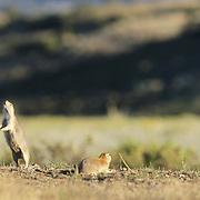Black-Tailed Prairie Dog (Cynomys ludovicians) calling. Montana
