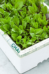 Beetroot 'Pronto' baby salad leaf grown in old polystyrene fish box