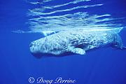 juvenile sperm whale, Physeter macrocephalus, Azores Islands, Portugal ( North Atlantic Ocean )