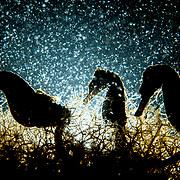 Three lined seahorses (Hippocampus erectus) feed on plankton at night.