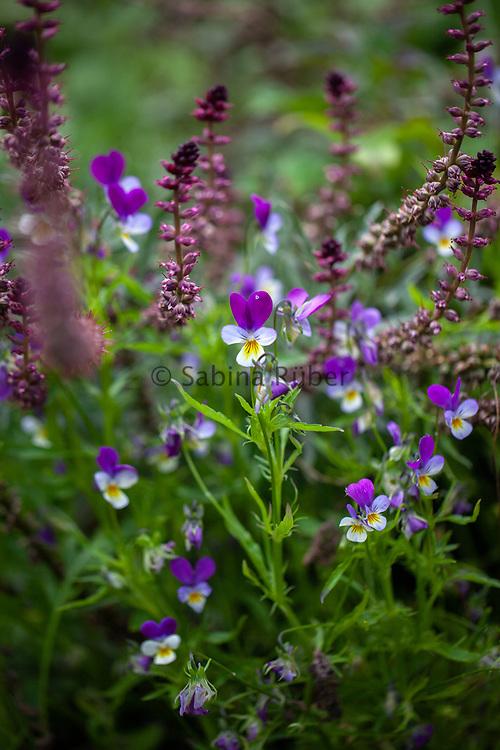 Viola tricolor - wild pansy and Lysimachia atropurpurea 'Beaujolais' - crimson loosestrife