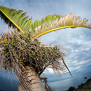 A Round Island Bottle Palm, Hyophorbe lagenicaulis, a species of palm that is endemic to Mauritius and is now resticted to Round Island in the wild. This species is critically endangered.