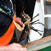 Noorwegen Bergen 30 december 2008 20081230 Foto: David Rozing .Marktman pakt kreeft op de markt.Shrimps on fish market..Foto: David Rozing