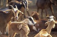 Cabras en corral, Estado Lara, Venezuela