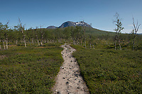 Trail heads through this birch forest north of Gisuris along Padjelantaleden Trail, Padjelanta national park, Lapland, Sweden