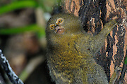 Coca - Sunday, Dec 23 2007: A pygmy marmoset (Cebuella pygmaea) at Yasuni National Park. This species is the smallest primate in the neotropics. (Photo by Peter Horrell / http://www.peterhorrell.com)