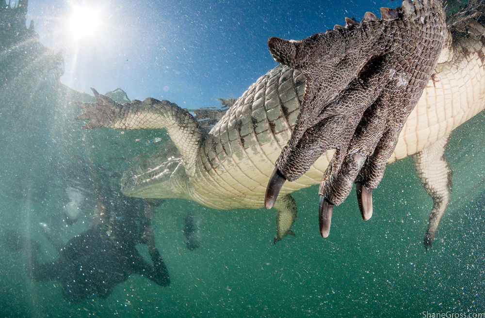American crocodiles are much less agressive than their Cuban cousins. In Cuba's Gardens of the Queen they are a major tourist draw and can safely be photographed in the water.