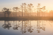 Mirror-like reflections of scots pines (Pinus sylvestris) in calm morning in bog pool of raised bog of Ķemeri, Kemeri National Park (Ķemeru Nacionālais parks), Latvia Ⓒ Davis Ulands   davisulands.com