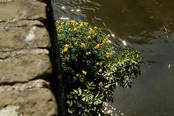 Gele helmbloem, Pseudofumaria lutea