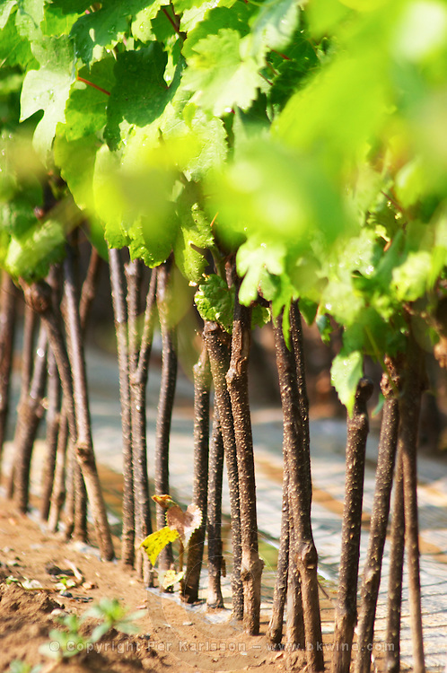Young vines in a row closely planted. Detail of the stems and the graft cut location. Fidal vine nursery and winery, Zejmen, Lezhe. Albania, Balkan, Europe.