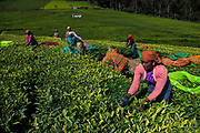 The tea plantations around Ootacamund (Ooty)/ Udagamandalam in India's southern state ofTamil Nadu form mesmerizing patterns against the backdrop of the Western Ghats.