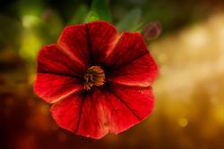 Soft Red Velvet Petals