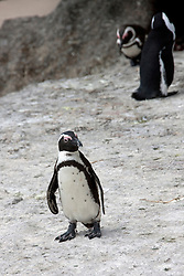 African Penguins (Spheniscus demersus) on beach, Boulders Beach, Cape Town, Western Cape Province, South Africa