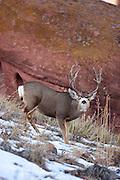 Mule deer buck during autumn rut