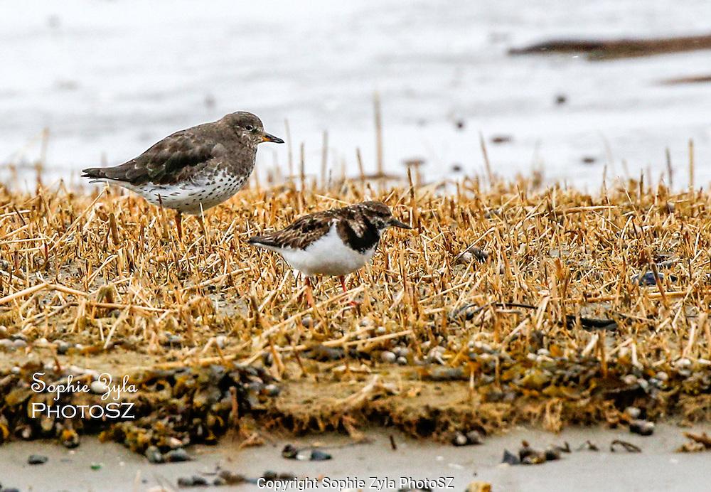Rare Surfbird Visits Maine