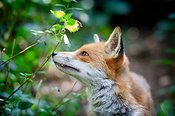 Red fox, sniffing nettles, Staffordshire, UK.<br /> Photo: Ed Maynard<br /> 07976 239803<br /> www.edmaynard.com<br /> This image is © Ed Maynard<br /> Not for use in any media (print, web or broadcast) without permission.