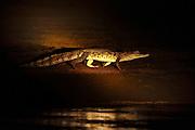 Spectacled Caiman (Caiman crocodilus)<br /> Savannah<br /> Rupununi<br /> GUYANA. South America<br /> RANGE: Central & South America