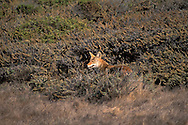 Coyote in shrub bushes hillside near San Simeon, Central Coast, California