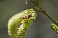 Honeybee, Apis mellifera, on flowers of mesquite, Prosopis sp. Organ Pipe Cactus National Monument, Arizona.