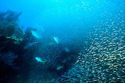 bar jacks, Caranx ruber, .feeding frenzy on bait ball, .Banana Reef, Key Largo, Florida Keys .National Marine Sanctuary (Atlantic)