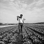 Feldarbeiter im Gemüsefeld, Grosses Moos, Kerzers.  Ouvrier agricole dans champ de salades. © Romano P. Riedo