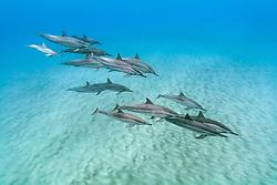 Hawaiian spinner dolphins, long-snouted spinner dolphins or Gray's spinner dolphins, Stenella longirostris longirostris, small pod with calves, Kona Coast, Big Island, Hawaii, USA, Pacific Ocean