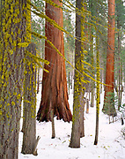 Giant Sequoia and White Fir with Lichen, Giant Forest,Sequoia National Park, California