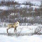 Barren Ground Caribou (Rangifer arcticus) calf on the cape in Churchill,  Manitoba,  Canada. .Barren Ground Caribou (Rangifer arcticus) calf on the cape in Churchill, Manitoba, Canada.