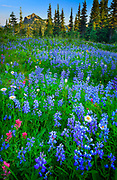 Meadow full of lupines in Mount Rainier National Park