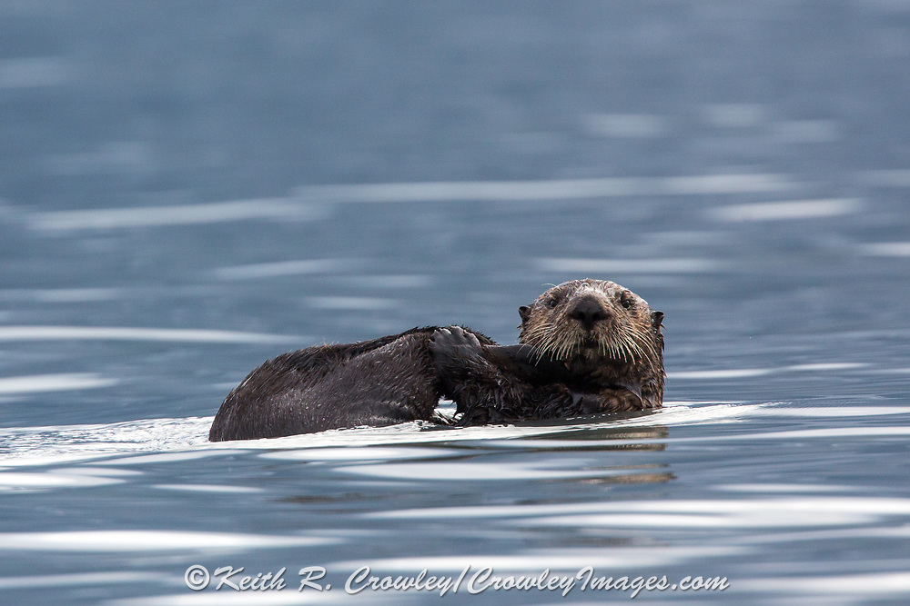 Sea otters offer endless entertainment to visitors of coastal Alaska.
