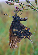 Swallowtail covered in early morning dew.