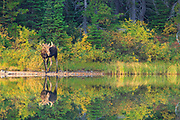 Moose in Glacier National Park.