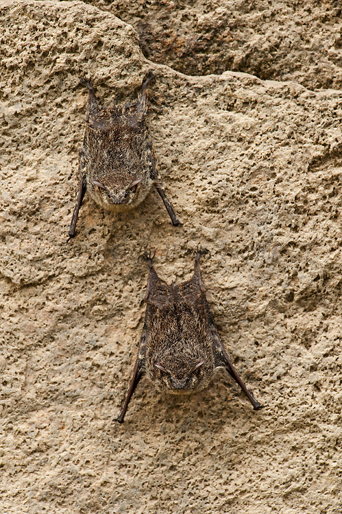 Long-nosed Bats (Rhynchonycteris naso)<br /> Savannah<br /> Rupununi<br /> GUYANA. South America<br /> RANGE: Mexico, Central & South America south to Bolivia and Mato Grosso, Brazil.
