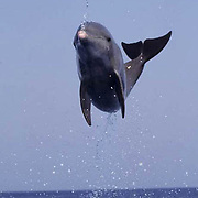 Bottlenose Dolphin, (Tursiops truncatus) Jumping in waters of Gulf of Mexico. Honduras. Controlled Conditons.