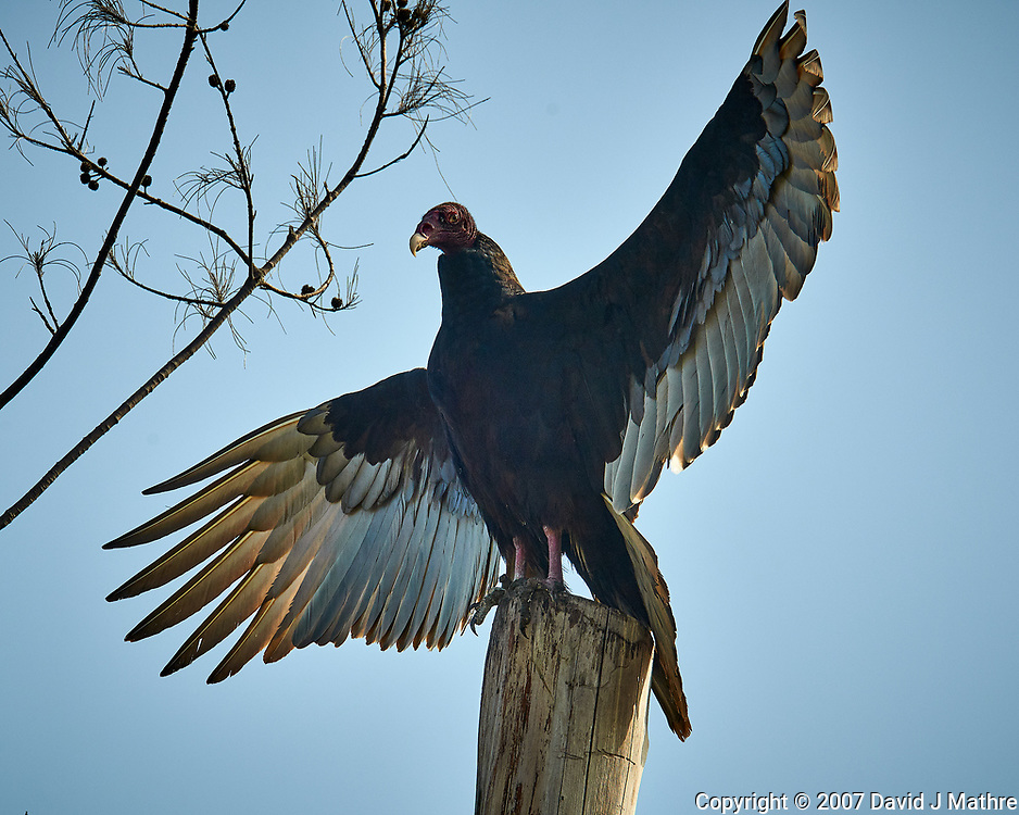 Turkey Vulture on a post at Fort De Soto park in Pinellas County, Florida. Image taken with a D300 camera and 200 mm f/2 VR lens with a TC-EII 2x teleconverter (ISO 360, 400 mm, f/11, 1/500 sec).