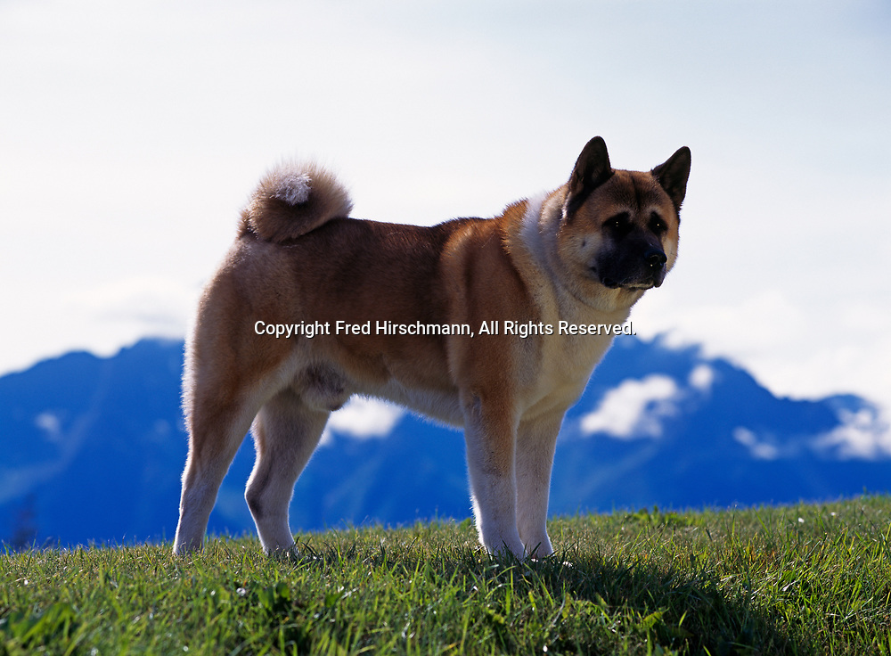 """Akita, AKC, 7-year-old """"Baron"""" photographed in Palmer, Alaska and owned by Melanie Scritchfield of Soldotna, Alaska.  (PR)"""