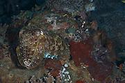 Reef Cuttlefish (Sepia latimanus) - Milne Bay, PNG