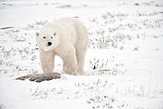 Polar bear  (Ursus maritimus) on frozen tundra along the Hudson Bay Coast<br />Churchill<br />Manitoba